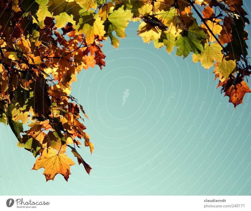 Ökofarben Himmel Natur Pflanze schön Blatt Umwelt gelb Herbst leuchten gold Schönes Wetter Wolkenloser Himmel Herbstlaub herbstlich Rahmen Ahornblatt