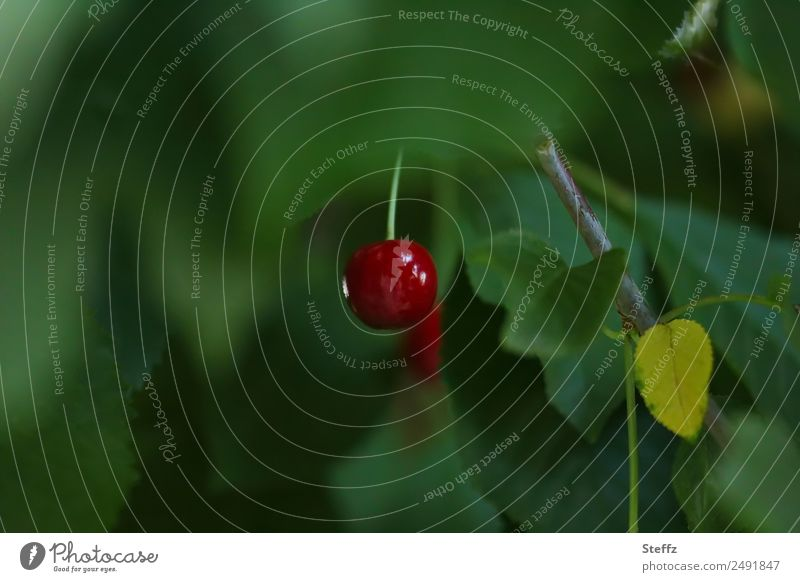 Farbtupfer Kirsche Natur Sommer Pflanze Blatt Nutzpflanze Frucht Kirschbaum Garten Obstgarten lecker schön grün rot dunkelgrün 1 Unschärfe Farbfleck