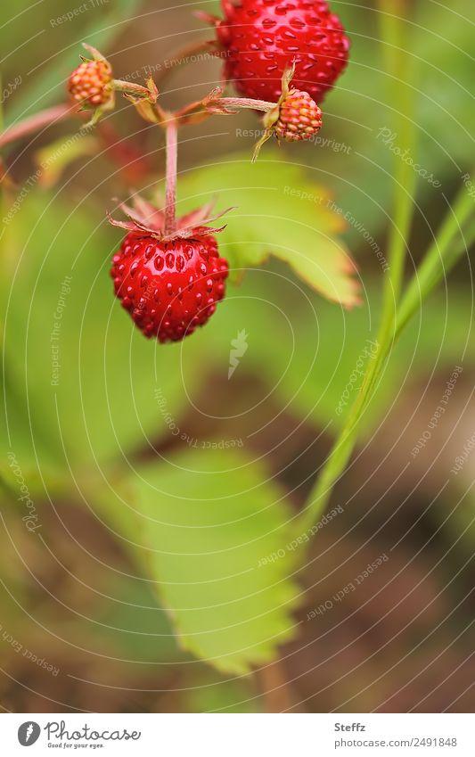 Wald-Erdbeeren Frucht Beeren Natur Sommer Pflanze Sträucher Nutzpflanze Wildpflanze Beerensträucher Garten lecker saftig schön süß grün rot Sommergefühl
