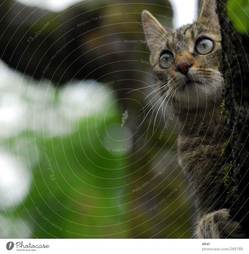 Vermisst:Tom Baum Garten Tier Haustier Katze 1 beobachten braun grau grün Tom und Jerry Farbfoto Außenaufnahme Tag Tierporträt Blick nach vorn Herumtreiben