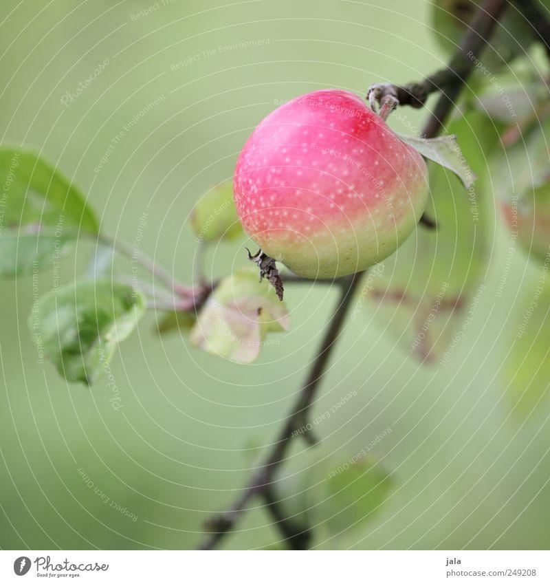 apfel Lebensmittel Apfel Bioprodukte Natur Pflanze Baum Blatt Grünpflanze Nutzpflanze Frucht natürlich grün rosa Farbfoto Außenaufnahme Menschenleer