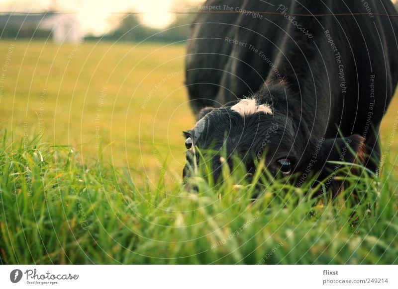 schüchtern Landschaft Schönes Wetter Feld Nutztier Kuh 1 Tier Neugier Schüchternheit Farbfoto Außenaufnahme Textfreiraum links Textfreiraum oben Tag