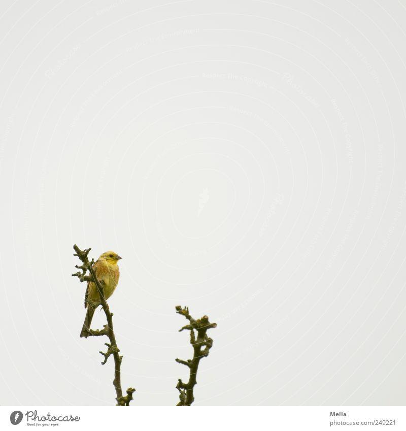 Vogel Umwelt Natur Tier Ast Goldammer 1 sitzen frei hell klein natürlich grau Freiheit Farbfoto Außenaufnahme Menschenleer Textfreiraum rechts Textfreiraum oben