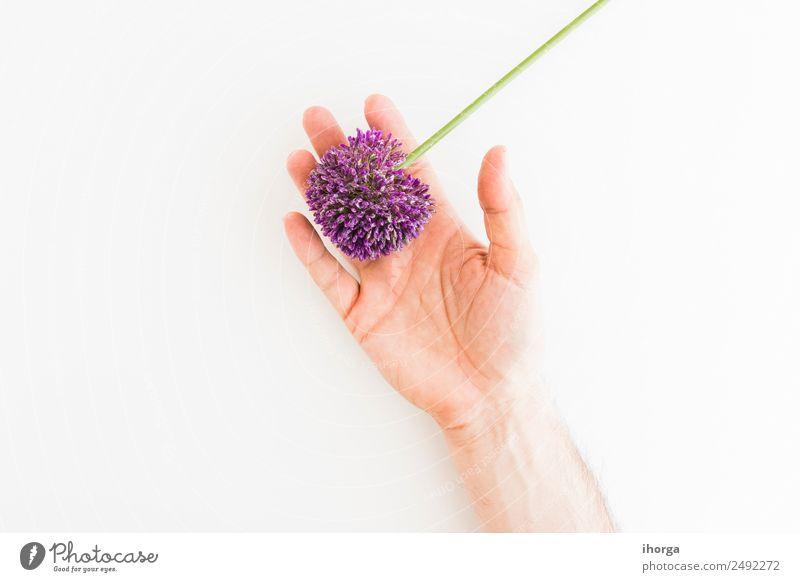 Allium isoliert auf weißem Hintergrund Kräuter & Gewürze elegant schön Sommer Garten Dekoration & Verzierung Feste & Feiern Valentinstag Muttertag Mensch Hand