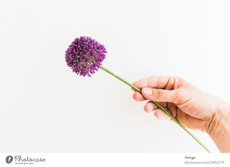 Allium isoliert auf weißem Hintergrund Gemüse Kräuter & Gewürze schön Sommer Garten Feste & Feiern Valentinstag Muttertag Mensch Hand Finger Natur Pflanze Blume