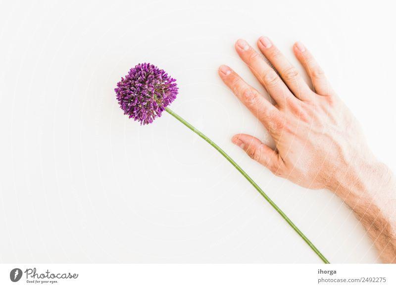 Allium isoliert auf weißem Hintergrund Gemüse Kräuter & Gewürze elegant Garten Dekoration & Verzierung Feste & Feiern Valentinstag Muttertag Mensch Hand Finger