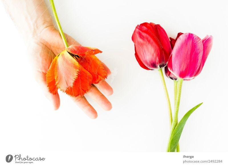 Tulpenblüten auf weißem Tisch Design Garten Feste & Feiern Valentinstag Muttertag Mensch Mann Erwachsene Hand Finger Natur Pflanze Blume Blatt Blüte Liebe