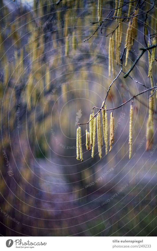 ||| Natur Pflanze gelb Farbe Blüte Frühling natürlich violett hängen Birke Zweige u. Äste