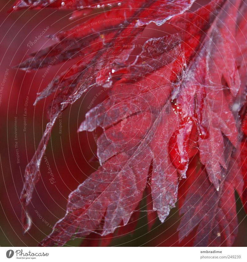 Herbstblatt Natur Wasser Baum Pflanze rot Blatt Herbst Umwelt Garten Regen Park Wetter Wassertropfen natürlich Spinnennetz einheitlich