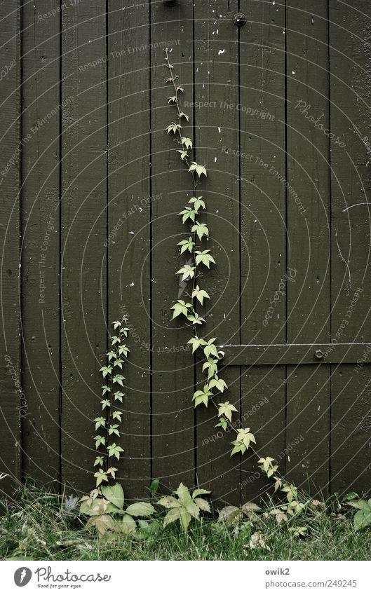 Wettrennen Umwelt Natur Pflanze Sommer Gras Sträucher Blatt Wildpflanze Efeu Kletterpflanzen Tür Holz Wachstum dünn hoch einzigartig nah natürlich grau grün