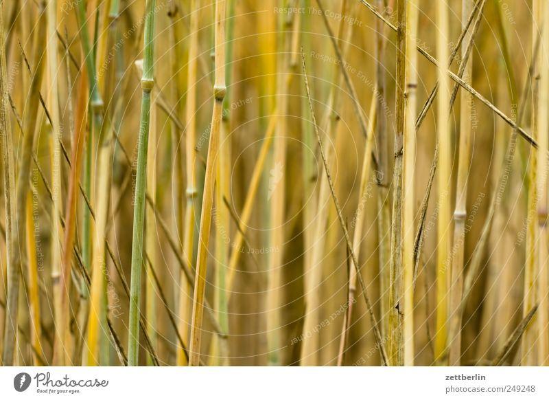 Getreide Natur Pflanze Sommer Umwelt Gefühle Feld Wachstum Dorf Landwirtschaft Bauernhof Ernte reif Halm Forstwirtschaft Weizen