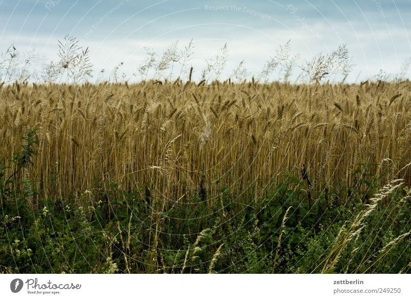 Kornfeld Feld Getreide Dorf Bauernhof Landwirtschaft reif Ernte Halm Gutshaus Ackerbau Weizen Roggen Gerste Hessen