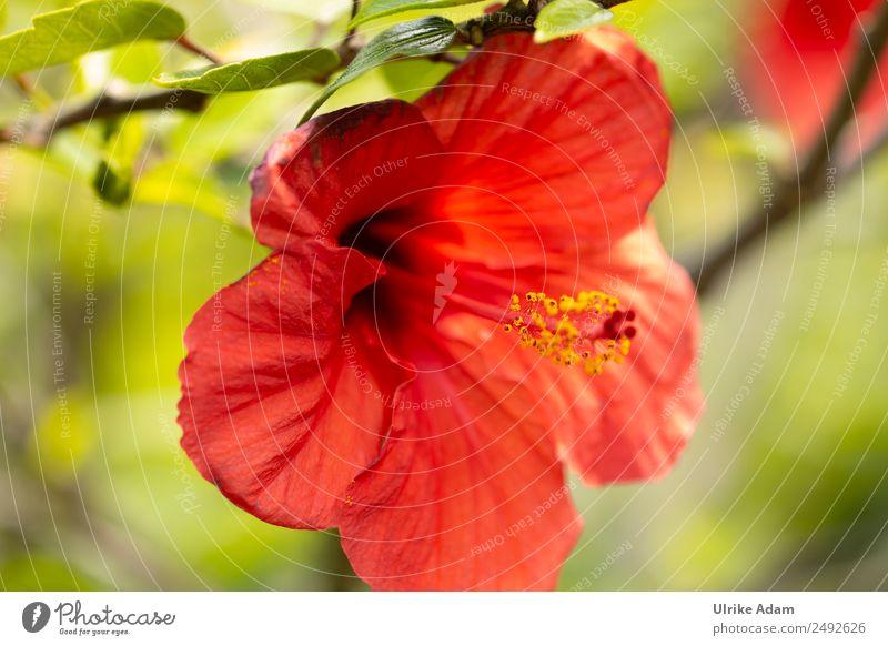 Blüte des roten Hibiskus elegant schön Alternativmedizin harmonisch Meditation Spa Natur Pflanze Sommer Baum Blume Blatt Hibiscus Hibiscusblüte Garten Park