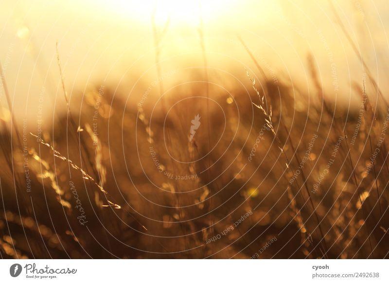 Gräserfeuerwerk 7 Natur Sommer Landschaft Erholung ruhig Wärme Wiese Gras Glück Zeit Stimmung Zufriedenheit leuchten Feld gold Idylle