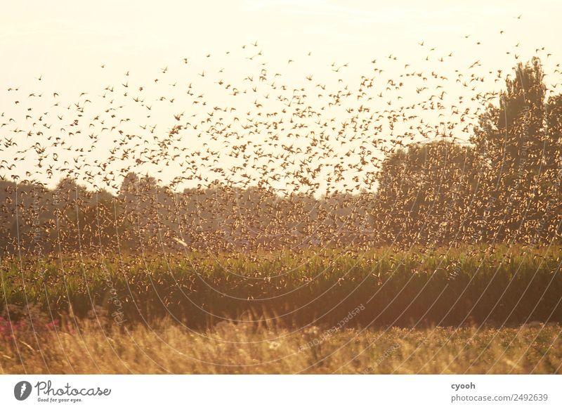 Der Tanz der Stare Natur Ferien & Urlaub & Reisen Landschaft ruhig Ferne Freiheit Vogel Zusammensein Stimmung fliegen leuchten frei Feld gold Telekommunikation