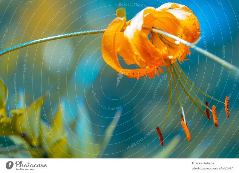 Orange Lilie elegant Design Leben harmonisch Erholung ruhig Meditation Dekoration & Verzierung Tapete Bild Postkarte Valentinstag Muttertag Hochzeit Geburtstag