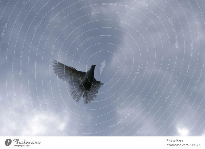 Taube Himmel Wolken Tier Wildtier Flügel 1 fliegen elegant weich weiß Außenaufnahme Abend