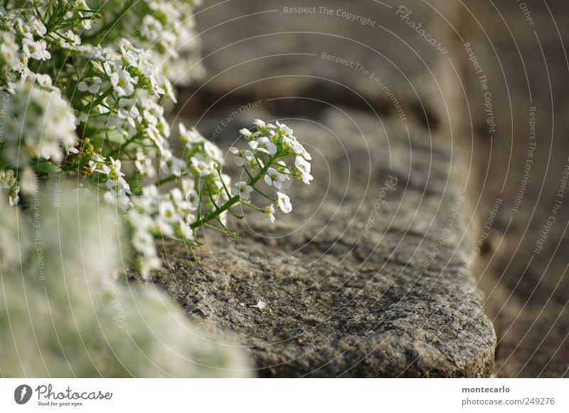 Am Wegesrand Natur grün weiß schön Pflanze Blume grau Blüte klein See Park natürlich Seeufer Schönes Wetter Grünpflanze Bodensee