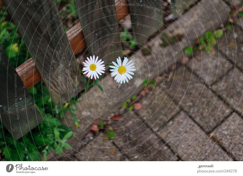 Normalität Natur schön Pflanze Blume Blüte Wege & Pfade natürlich Wachstum einfach Neugier Asphalt Zaun positiv brechen nachhaltig achtsam
