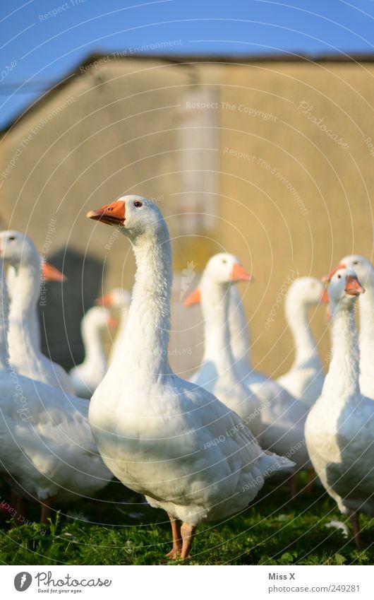 STILLGESTANDEN Fleisch Bioprodukte Nutztier Herde Neugier Gans schnattern Schnabel weiß Bauernhof Geflügelfarm Geflügelzucht Tierzucht Farbfoto Außenaufnahme