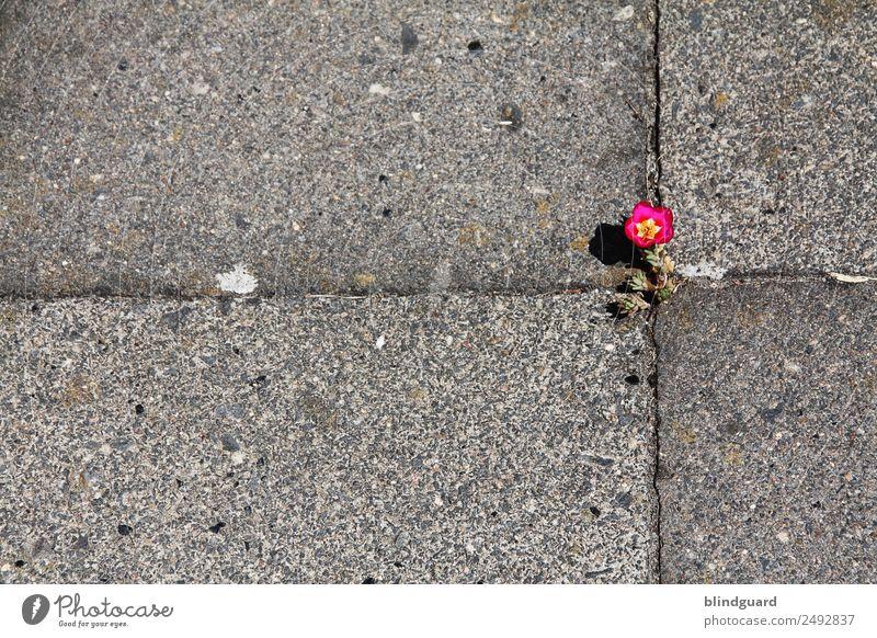 The Power Of Flower Umwelt Natur Pflanze Sommer Blüte Grünpflanze Stadt Straße Stein Blühend Wachstum fantastisch positiv stark gelb grau grün rot Willensstärke
