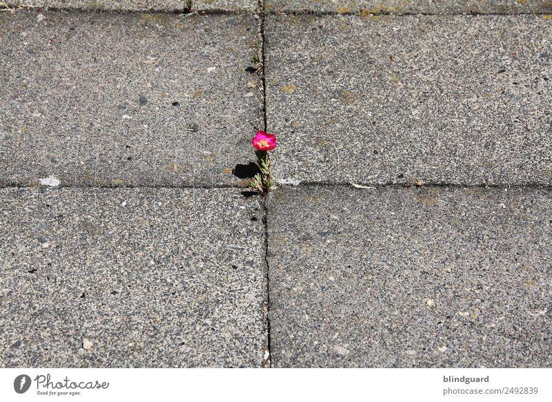 Wo ein Wille ist, da ist auch ein Weg Umwelt Pflanze Sommer Blume Blüte Grünpflanze Wildpflanze Stadt Wege & Pfade Beton Blühend Duft Wachstum klein natürlich