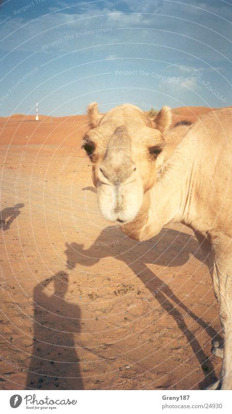 Camel Trophy Arabien Werbefachmann Plakat Panorama (Aussicht) Ferien & Urlaub & Reisen Zigarettenmarke Wüste Muster emirate werbemittel plakatwerbung fernsehn