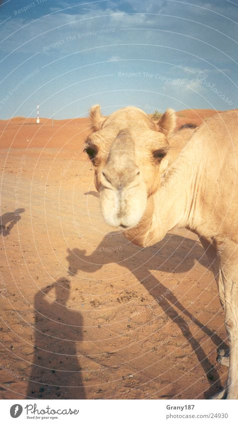 Camel Trophy Ferien & Urlaub & Reisen groß Wüste Plakat Arabien Zigarettenmarke Werbefachmann