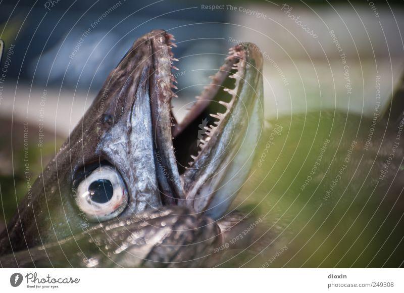 Fischkopp Tier Ernährung Lebensmittel natürlich frisch Gebiss lecker Fischereiwirtschaft Fischauge Protein Fischmarkt Fischmaul
