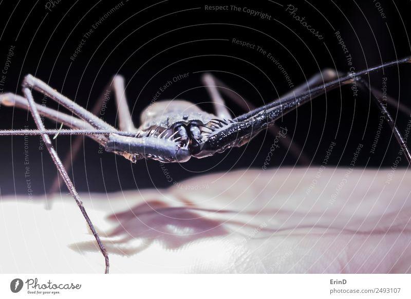 Nahaufnahme Riesenpeitschen Skorpion Insekt zur Hand wandern Tier Urwald Spinne stehen Ekel exotisch groß gruselig einzigartig Neugier stachelig schwarz