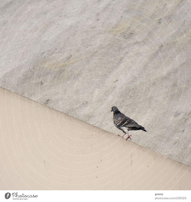 es geht aufwärts Wand grau Mauer Vogel gehen laufen Beton Taube Neigung aufsteigen