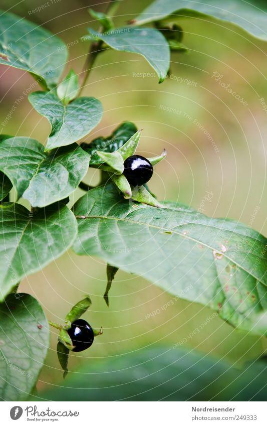 Schwarze Seele Natur Pflanze Sommer elegant ästhetisch Wachstum bedrohlich Gift Vorsicht Heilpflanzen Wildpflanze Nachtschattengewächse Giftpflanze Tollkirsche