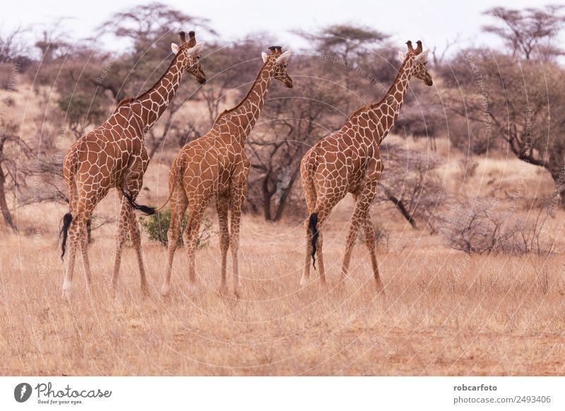Giraffe im Samburu Nationalpark Kenia Ferien & Urlaub & Reisen Safari Berge u. Gebirge Natur Landschaft Tier Gras Park natürlich wild aberdare national Reittier
