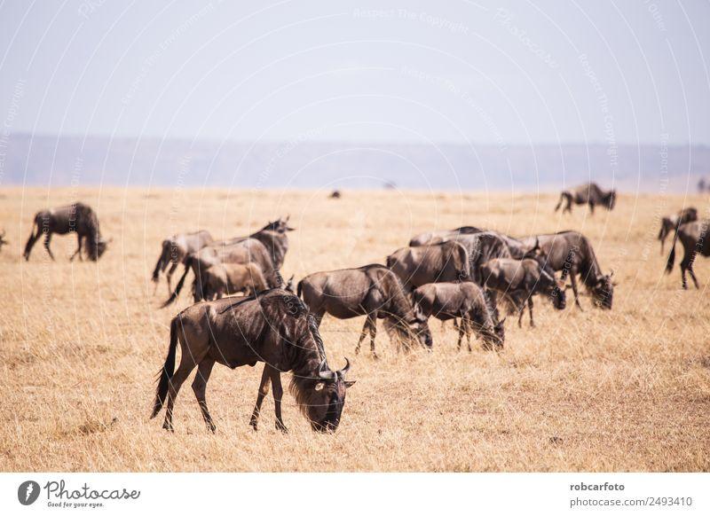 Gnu im Masai Mara Nationalpark in Kenia Afrika schön Ferien & Urlaub & Reisen Safari Umwelt Natur Landschaft Tier Park Fluss Herde natürlich wild blau grün