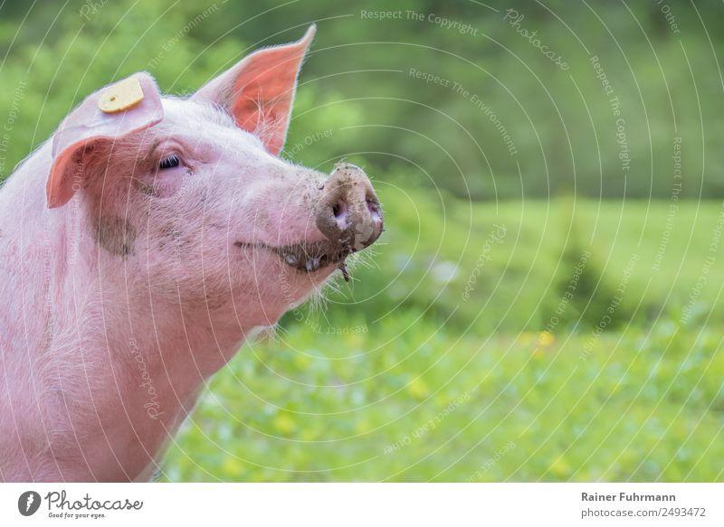 ein Porträt von einem Hausschwein in freier Natur schön Tier Freude lustig natürlich Gefühle Zufriedenheit Lächeln niedlich Haustier