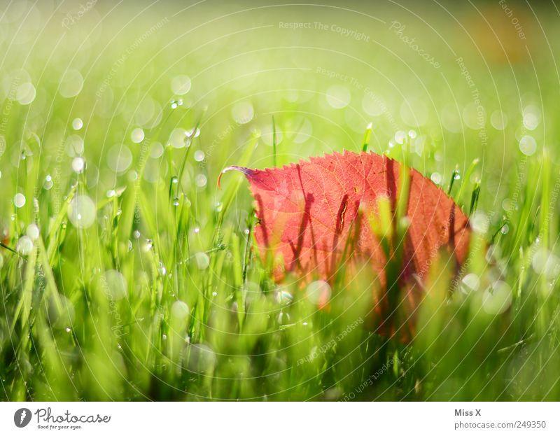 Guten Morgen schöner Herbst Natur Wassertropfen Blatt Wiese frisch glänzend nass Tau herbstlich Herbstlaub Herbstbeginn Herbstfärbung Gras grün