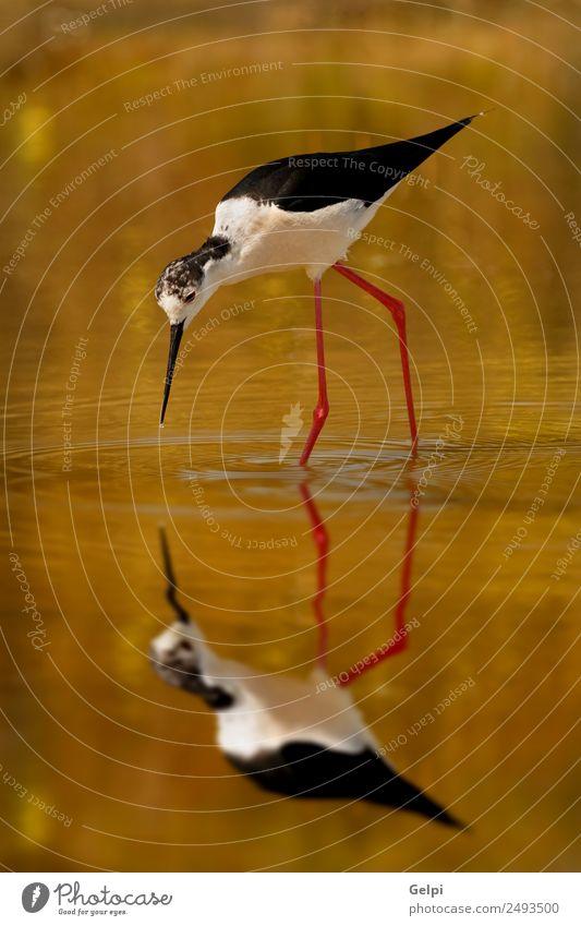 Vogel Essen schön Meer Spiegel Umwelt Natur Tier Frühling Teich See Fluss Flügel lang nass niedlich wild rot schwarz weiß Schwarzflügel himantopus Stelzenläufer