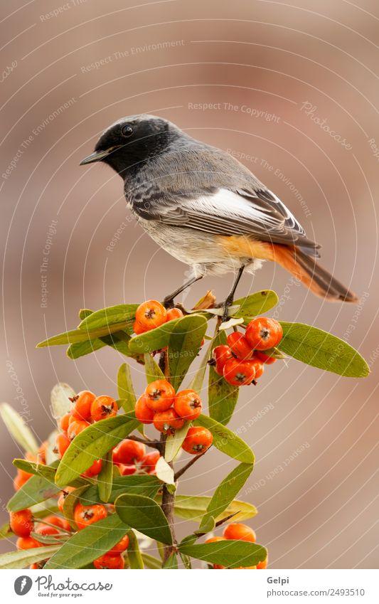 Vogel schön Leben Mann Erwachsene Umwelt Natur Tier Herbst dunkel klein natürlich wild braun schwarz weiß Tierwelt Gartenrotschwanz roter Schweif Beeren
