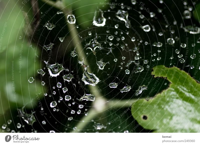 Regennetz Umwelt Natur Wasser Wassertropfen Sommer Wetter Sträucher glänzend nass grün schwarz Tropfen Spinnennetz Farbfoto Gedeckte Farben Außenaufnahme