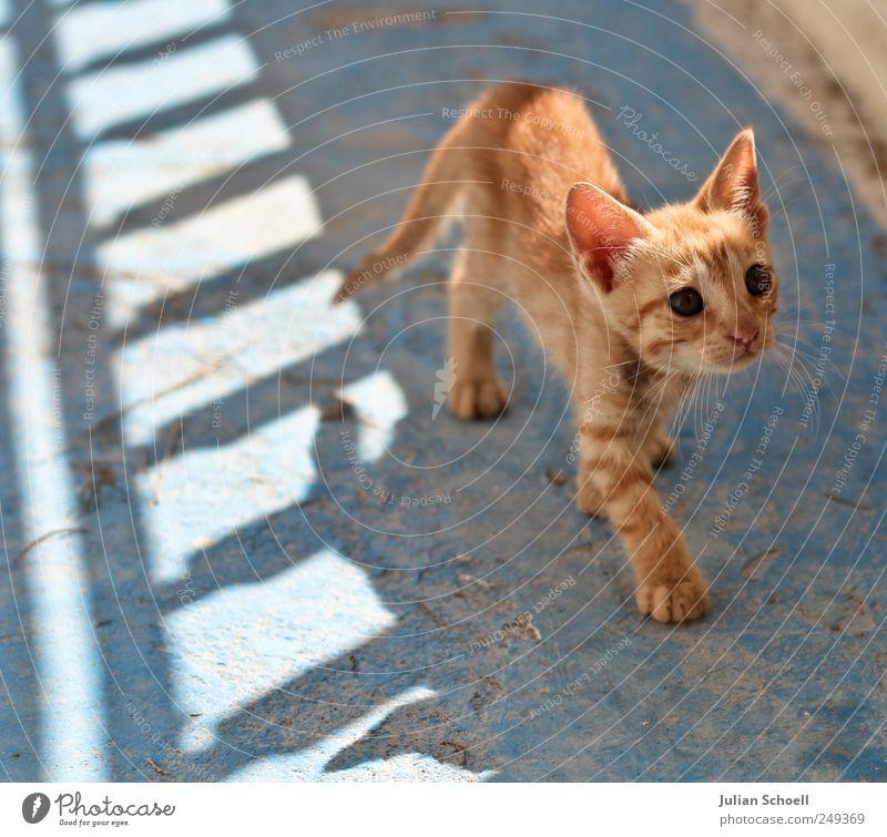 Auf leisen Pfoten blau schön rot Tier klein Katze Tierjunges niedlich Neugier beobachten dünn hören Wachsamkeit Leichtigkeit Schüchternheit achtsam