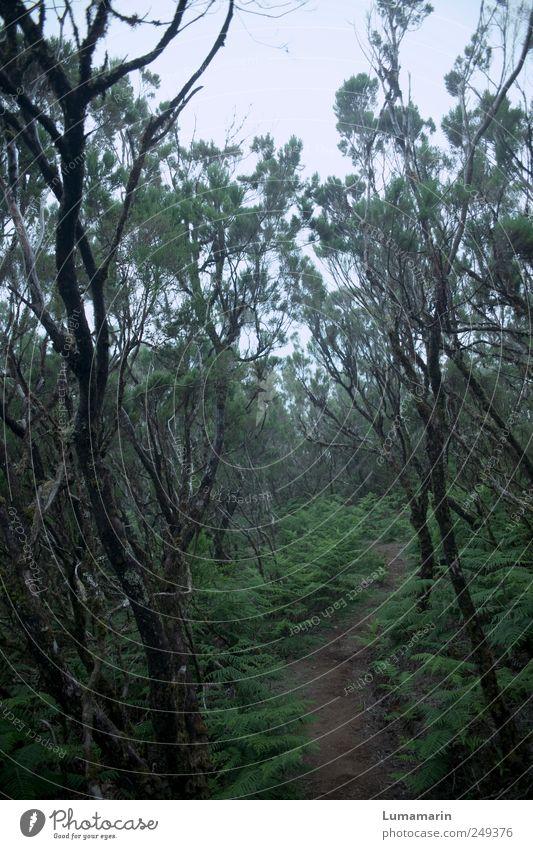 am Anfang Umwelt Landschaft Pflanze schlechtes Wetter Nebel Grünpflanze Wildpflanze Wald Urwald Madeira dunkel Ferne kalt lang nass natürlich schön trist wild