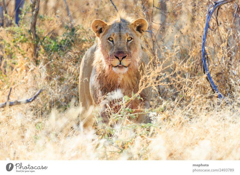Königlich #2 Ferien & Urlaub & Reisen Tourismus Safari Natur Pflanze Wärme Dürre Gras Wüste Namibia Afrika Tier Wildtier Löwe 1 beobachten Essen Fressen