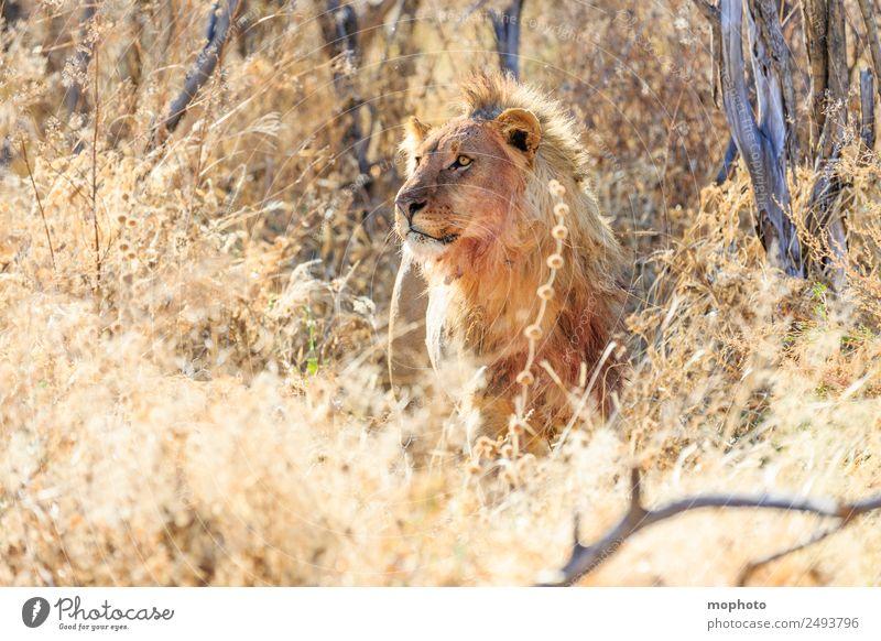 Königlich #1 Ferien & Urlaub & Reisen Tourismus Safari Natur Pflanze Wärme Dürre Gras Wüste Namibia Afrika Tier Löwe beobachten Essen Fressen Jagd Aggression
