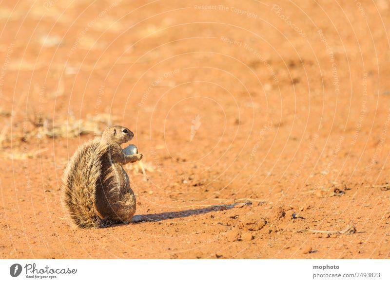Niedlicher Vielfraß... Ferien & Urlaub & Reisen Tourismus Safari Natur Pflanze Wärme Dürre Wüste Namibia Afrika Tier Wildtier 1 beobachten Essen festhalten