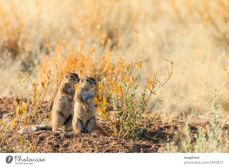 Gemeinsam #2 Ferien & Urlaub & Reisen Tourismus Safari Natur Pflanze Wärme Dürre Gras Wüste Tier Wildtier Eichhörnchen Tierpaar Brunft beobachten stehen