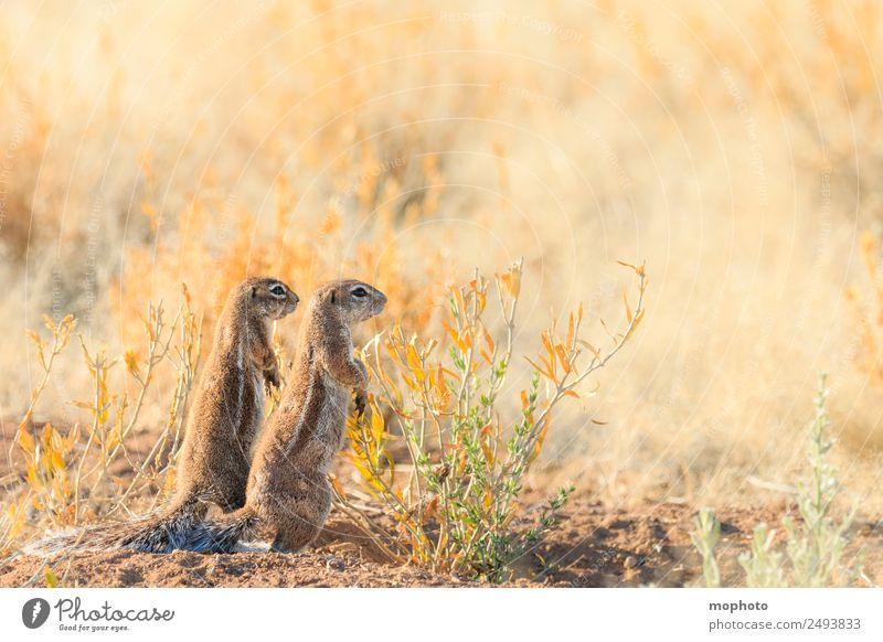Gemeinsam #1 Ferien & Urlaub & Reisen Tourismus Safari Natur Pflanze Klima Wärme Dürre Gras Wüste Namibia Afrika Tier Wildtier Fell Eichhörnchen Borstenhörnchen