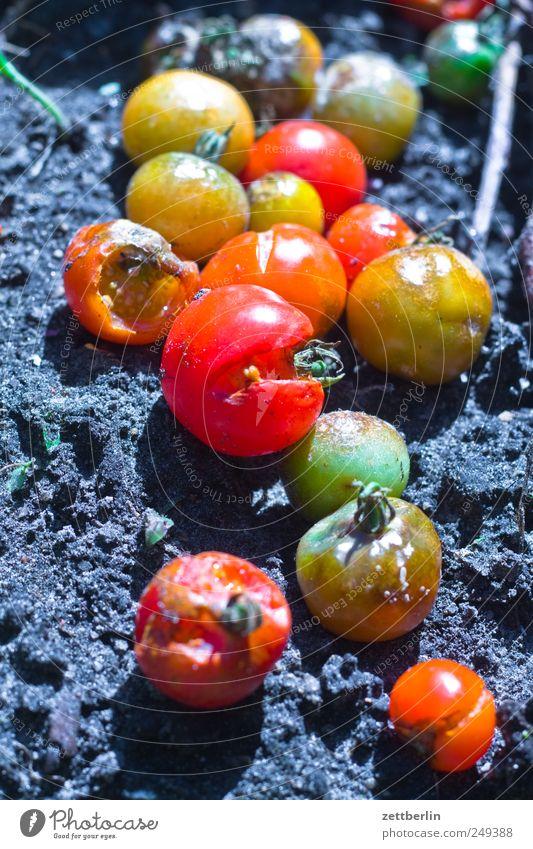 Tomaten Sommer Pflanze Blatt Garten Erde Lebensmittel dreckig Wachstum Ernährung verfaulen Gemüse Ernte Bioprodukte Beet Vegetarische Ernährung