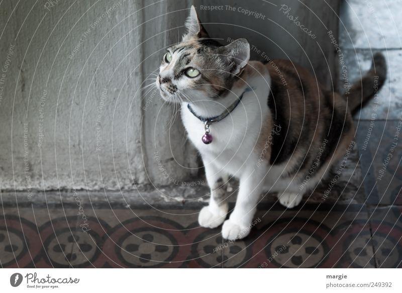 Haus - Mietze Mauer Wand Tier Haustier Katze Tiergesicht Fell Pfote Hauskatze Kopf Maul Ohr Auge Blick 1 beobachten sitzen dunkel Neugier Treue Wachsamkeit