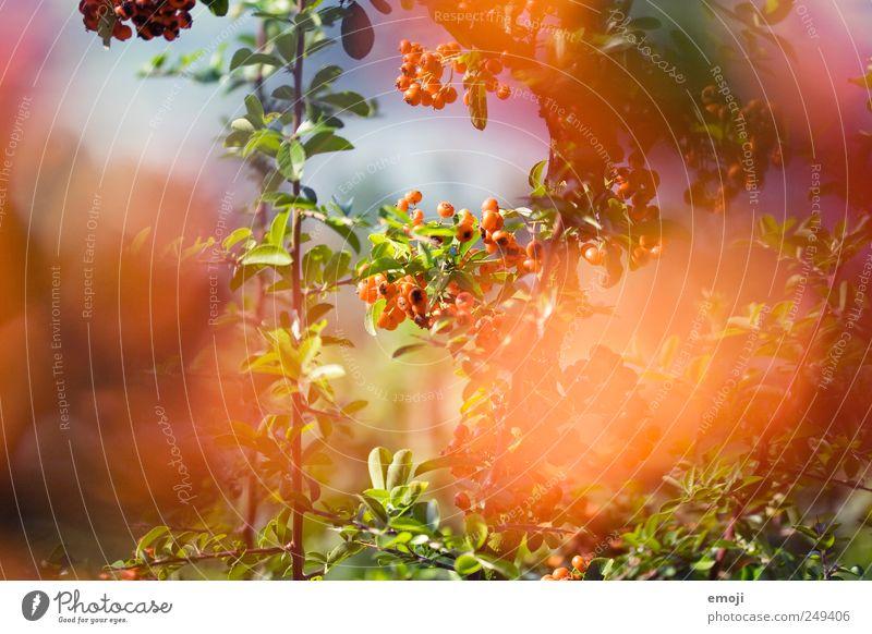 orange Natur Pflanze Sommer Baum Blume Sträucher natürlich Beeren Beerensträucher Blatt mehrfarbig Farbfoto Außenaufnahme Detailaufnahme Menschenleer Tag Licht