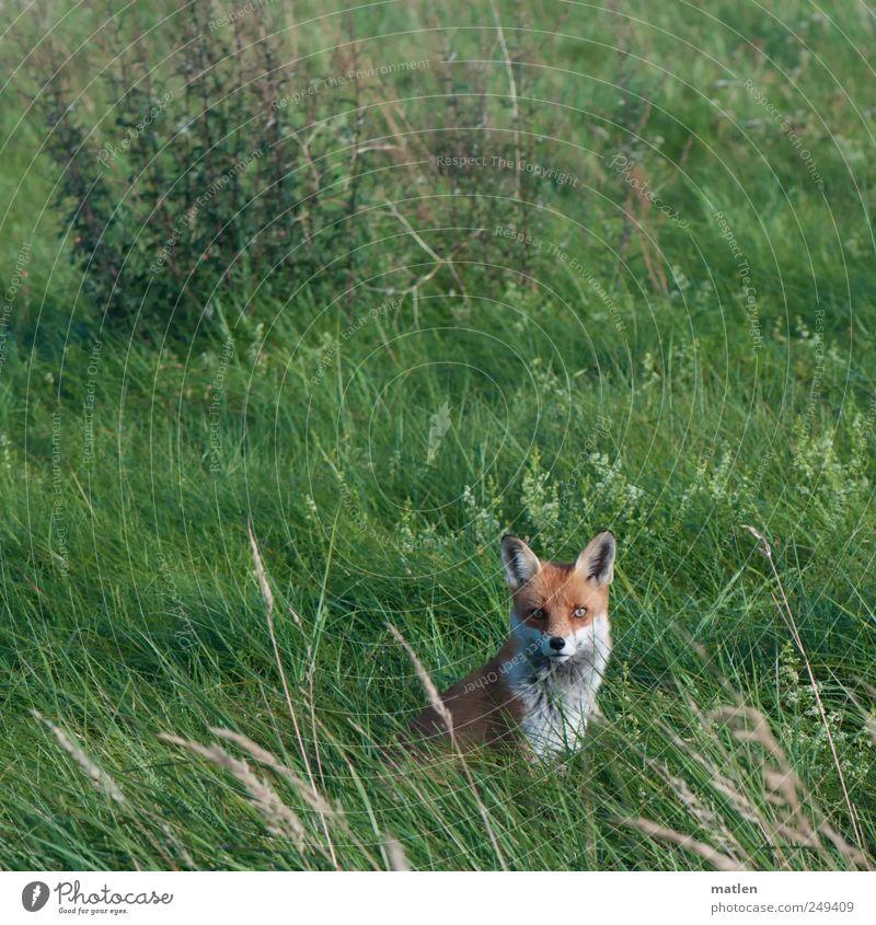 volpe Gras Wiese Tier Wildtier Tiergesicht 1 beobachten Blick in die Kamera Fuchs sitzen Farbfoto Außenaufnahme Menschenleer Tag